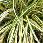 Carex oshimensis 'Evergold' - Zegge - Carex oshimensis 'Evergold'