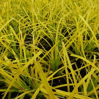 Carex oshimensis 'Everillo' - Zegge - Carex oshimensis 'Everillo'