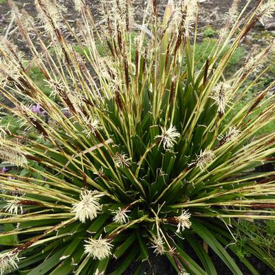 Carex oshimensis 'JS Greenwell' - Zegge - Carex oshimensis 'JS Greenwell'