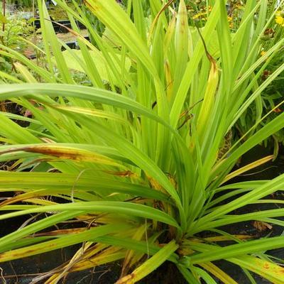 Carex pendula -