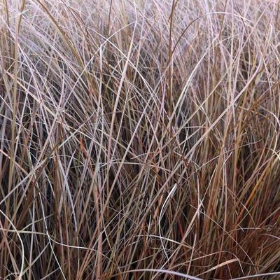 Carex petriei -