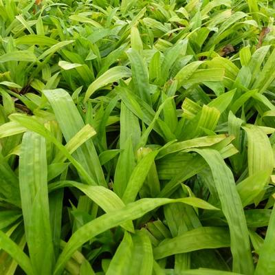 Carex plantaginea -