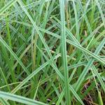 Carex riparia - Oeverzegge - Carex riparia