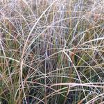 Carex testacea 'Prairie Fire' - Zegge - Carex testacea 'Prairie Fire'