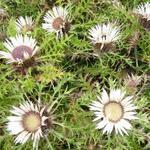 Carlina acaulis subsp. simplex  - Carlina acaulis subsp. simplex  - Hoge zilverdistel