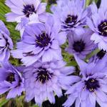 Blauwe strobloem - Catananche caerulea