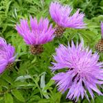 Centaurea dealbata - Korenbloem - Centaurea dealbata