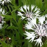 Korenbloem - Centaurea montana 'Alba'