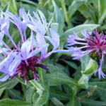 Korenbloem - Centaurea montana 'Coerulea'