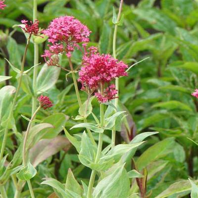 Centranthus ruber 'Coccineus' - Rode valeriaan, Spoorbloem - Centranthus ruber 'Coccineus'
