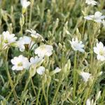 Cerastium biebersteinii - Viltige hoornbloem, muizenoortjes - Cerastium biebersteinii