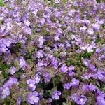 Chaenorhinum origanifolium 'Blue Dream' - Kleine leeuwenbek, Dwergleeuwentand - Chaenorhinum origanifolium 'Blue Dream'