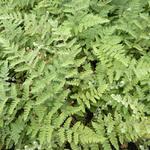 Cheilanthes lanosa - Harige lipvaren - Cheilanthes lanosa
