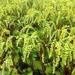 Chiastophyllum oppositifolium - Goudmossel - Chiastophyllum oppositifolium
