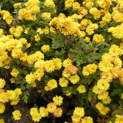 Chrysanthemum Indicum  'Bienchen' -