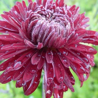 Chrysanthemum indicum 'Ceddie Mason' -