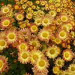 Chrysant - Chrysanthemum indicum 'Dernier Soleil'
