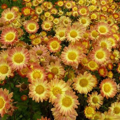 Chrysanthemum indicum 'Dernier Soleil' -