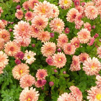 Chrysanthemum indicum 'Herbstbrokat' -