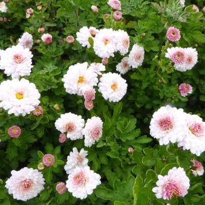 Chrysanthemum  indicum 'Julia' -