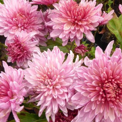 Chrysanthemum indicum 'Orchid Helen' -