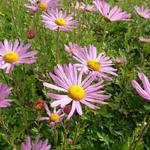Chrysanthemum rubellum 'Clara Curtis' - Chrysant - Chrysanthemum rubellum 'Clara Curtis'