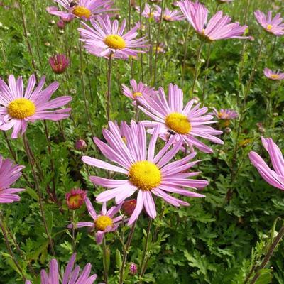 Chrysanthemum rubellum 'Clara Curtis' -