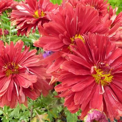 Chrysanthemum rubellum  'Duchess of Edinburgh' -