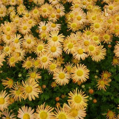 Chrysanthemum rubellum 'Mary Stoker' -