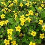 Chrysogonum virginianum var. australe 'Andre Viette' - Chrysogonum virginianum var. australe 'Andre Viette' - Goudkorfje