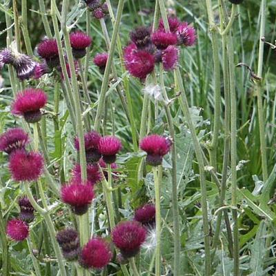 Cirsium rivulare 'Atropurpureum' - Vederdistel - Cirsium rivulare 'Atropurpureum'