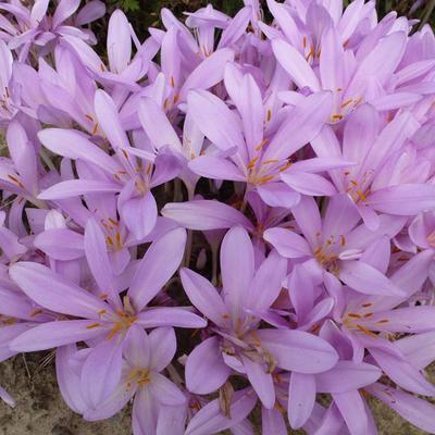 Colchicum autumnale -