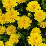 Coreopsis grandiflora 'Early Sunrise' - Meisjesogen