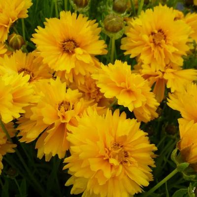 Coreopsis grandiflora 'Sunray' -