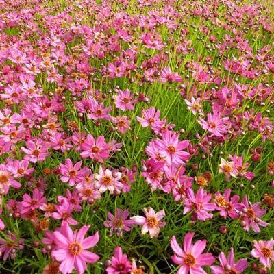 Coreopsis 'Limerock Passion' -