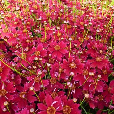 Coreopsis 'Limerock ruby' -
