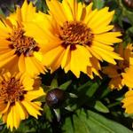 Coreopsis grandiflora 'Rotkehlchen' - Coreopsis grandiflora 'Rotkehlchen' - Meisjesogen