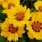 Coreopsis lanceolata 'Walter' - Coreopsis lanceolata 'Walter' - Meisjesogen