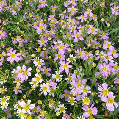Coreopsis rosea 'American Dream' - Meisjesogen - Coreopsis rosea 'American Dream'