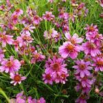 Coreopsis rosea 'Heaven's Gate'  - Meisjesogen - Coreopsis rosea 'Heaven's Gate'
