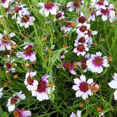 Coreopsis rosea 'Sweet Dreams'  -