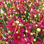 Coreopsis verticillata 'Red Satin' - Meisjesogen - Coreopsis verticillata 'Red Satin'