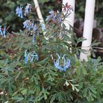 Corydalis flexuosa 'Porcelain Blue' - Helmbloem - Corydalis flexuosa 'Porcelain Blue'