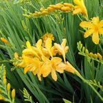 Crocosmia 'Paul's Best Yellow' - Crocosmia 'Paul's Best Yellow' - Montbretia
