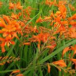 Montbretia - Crocosmia masoniorum