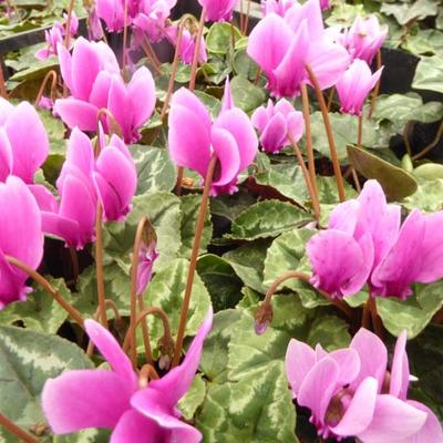 Cyclamen hederifolium -