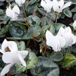 Alpenviooltje - Cyclamen hederifolium 'Album'