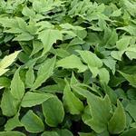 Cyrtomium fortunei var. Clivicola - Cyrtomium fortunei var. Clivicola - IJzervaren, smalle ijzervaren