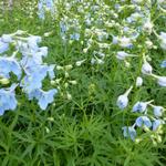 Delphinium belladonna 'Ballkleid' - Ridderspoor - Delphinium belladonna 'Ballkleid'