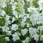 Delphinium 'Casa Blanca'  - Ridderspoor - Delphinium 'Casa Blanca'